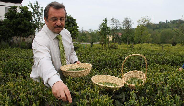 Beyaz çayın kilosu 4 bin TL