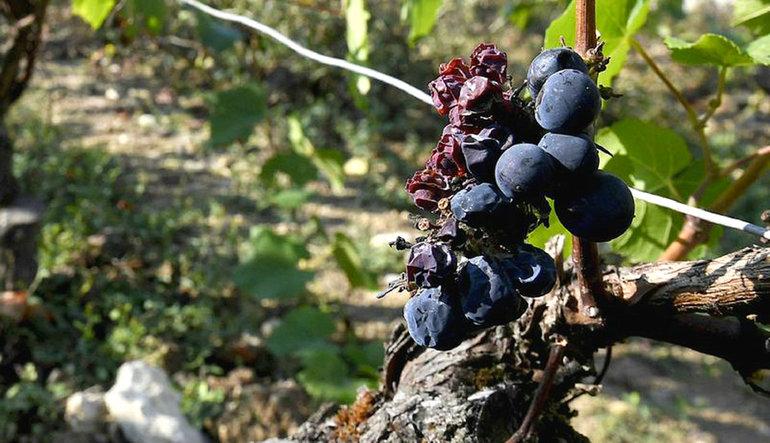 Şarap üretimi 20 yılın en düşük seviyesinde