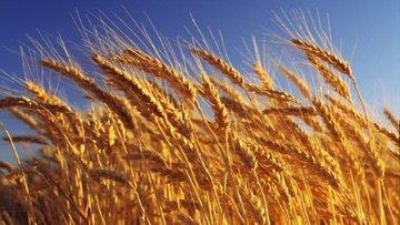 Kaynaklar: Türkler Rus buğdayı alımını askıya aldı