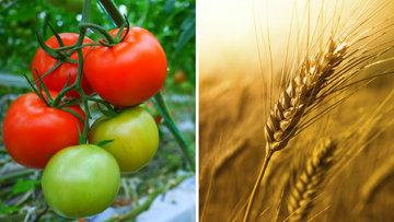 Türk domatesi vs. Rus buğdayı