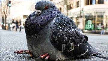 Büyük güvercinden piyasaya yepyeni mesajlar