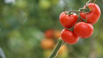Rusya, Türk domatesi yasağını gevşetmeyi planlıyor