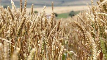 Türkiye'den Rus buğdayına yeni kısıtlama