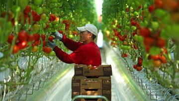 Türkiye'den Rusya'ya: Domatesi üretmediğinizde ihracat yapalım
