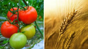 Rusya'yla buğday-domates hattında yeni gelişme