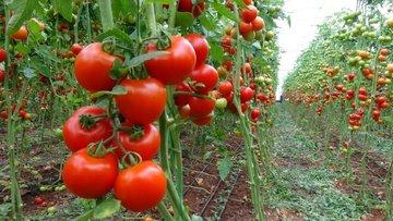 Rusya'dan, Türk domatesine 'sarı ışık'