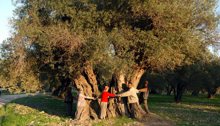 Ölmez ağacı yaşatacak yol haritası