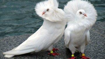 Eskinin şahininden bir güvercin açıklama daha