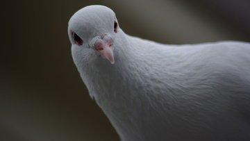 Büyük güvercin kargaşadan korkuyor
