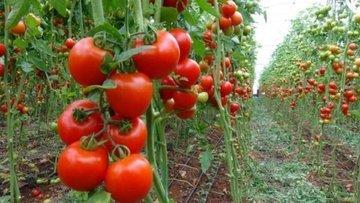 Türk domatesine Rus vizesi