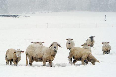 300 koyun projesi başladı