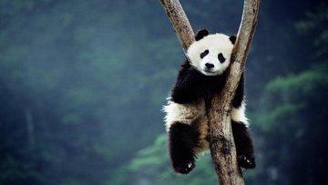 Hazine'den panda tahvili yetkisi