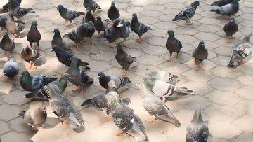 Güvercinler diyarında şahin tartışma