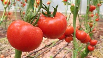 Rusya'dan Türk domatesine vize çıktı